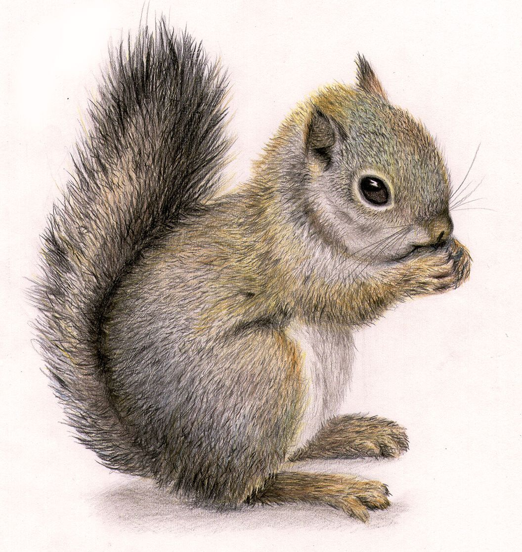 Uncategorized How To Draw A Realistic Squirrel squirrel draw more