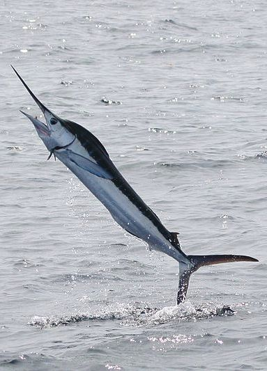 White #marlin (With images) | Sea fish, White marlin