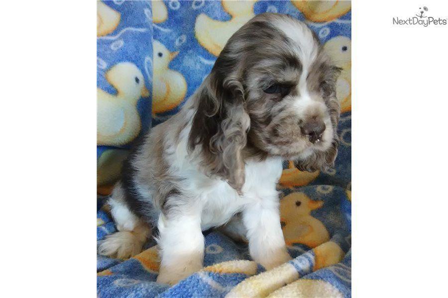 Cocker Spaniel Puppy For Sale Near Joplin Missouri 41120415