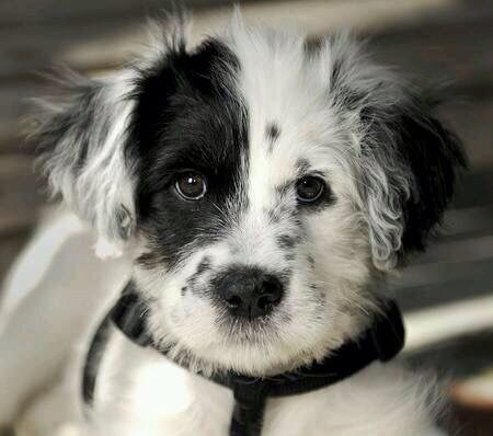 I Think This Is A Dalmadoodle Dalmatian And Poodle Mix