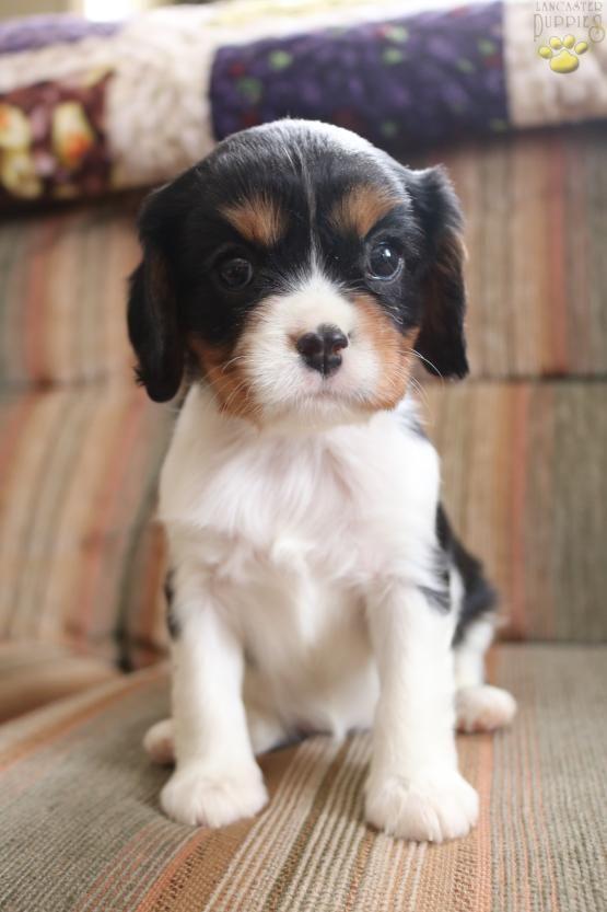 Bella Cavalier King Charles Spaniel Puppy For Sale In Elverson