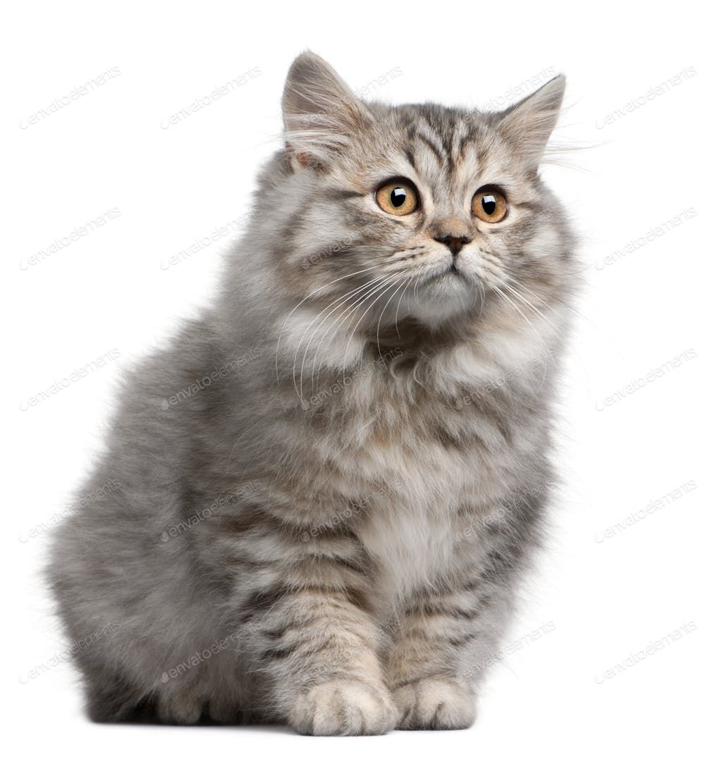 British Longhair Kitten 4 Months Old In Front Of White Background By Lifeonwhite S Photos Ad Spon Siberian Cat Siberian Cat Breeders Siberian Forest Cat