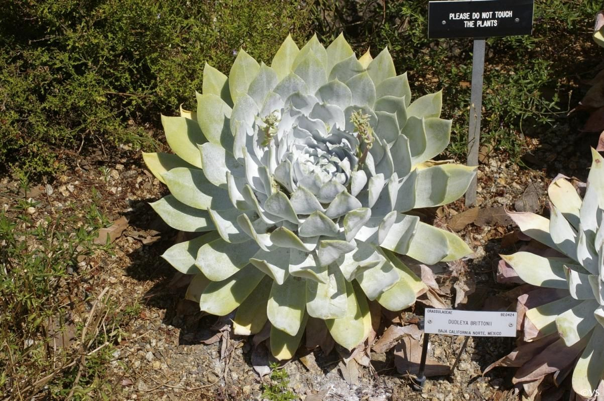 Dudleya Brittonii Is A Succulent That Blooms In Spring With Yellow