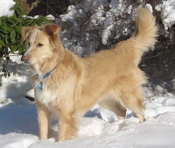 Golden Retriever Noble Loyal Companions Golden Retriever Husky
