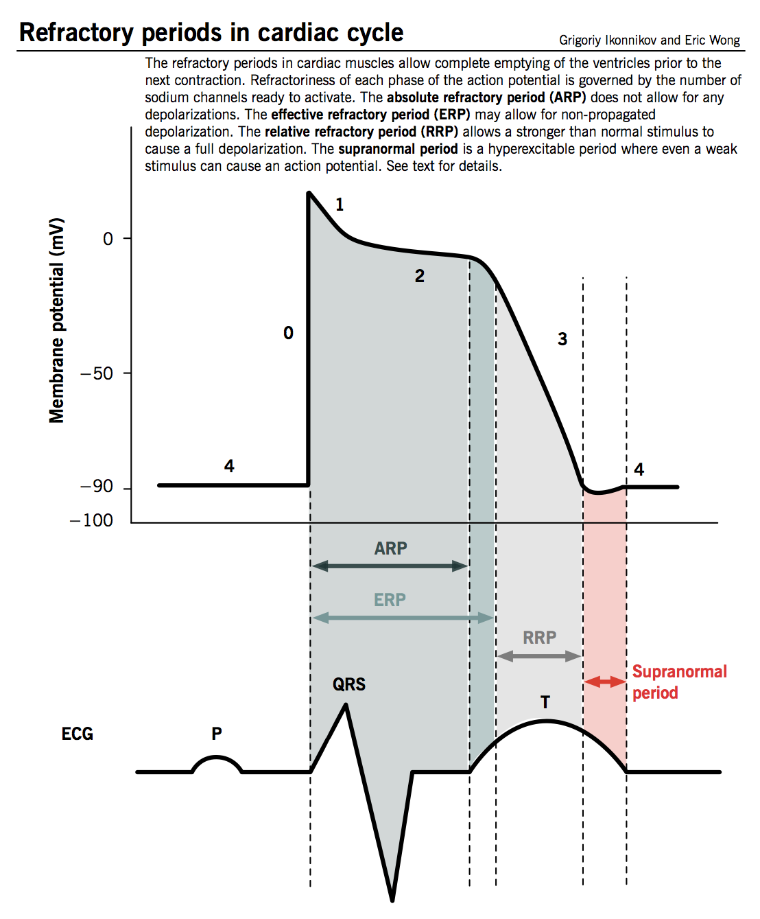 refractory periods in cardiac cycle | medical student | pinterest