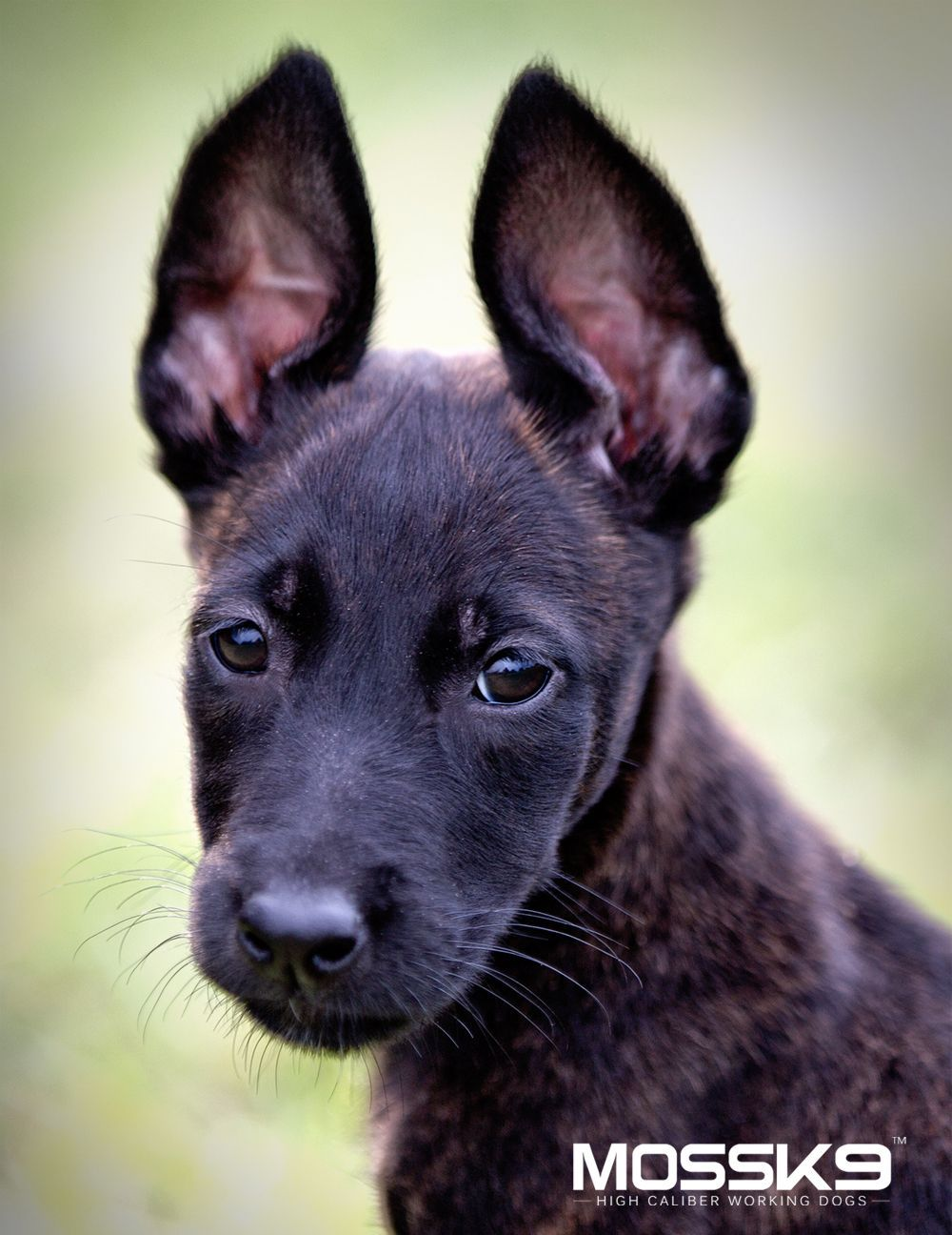 Dutch shepherd puppies for sale at moss k9
