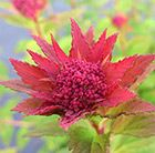 New, with great foliage colour