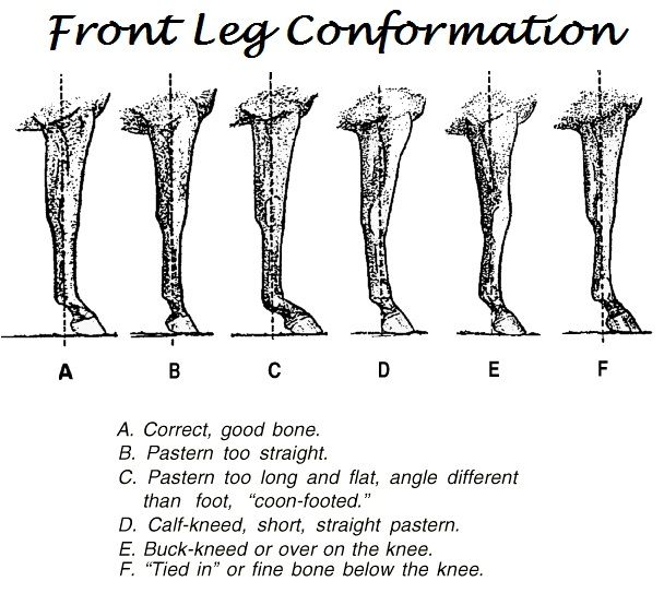 Front Leg Conformation Horse Health Horse Care Horse Anatomy
