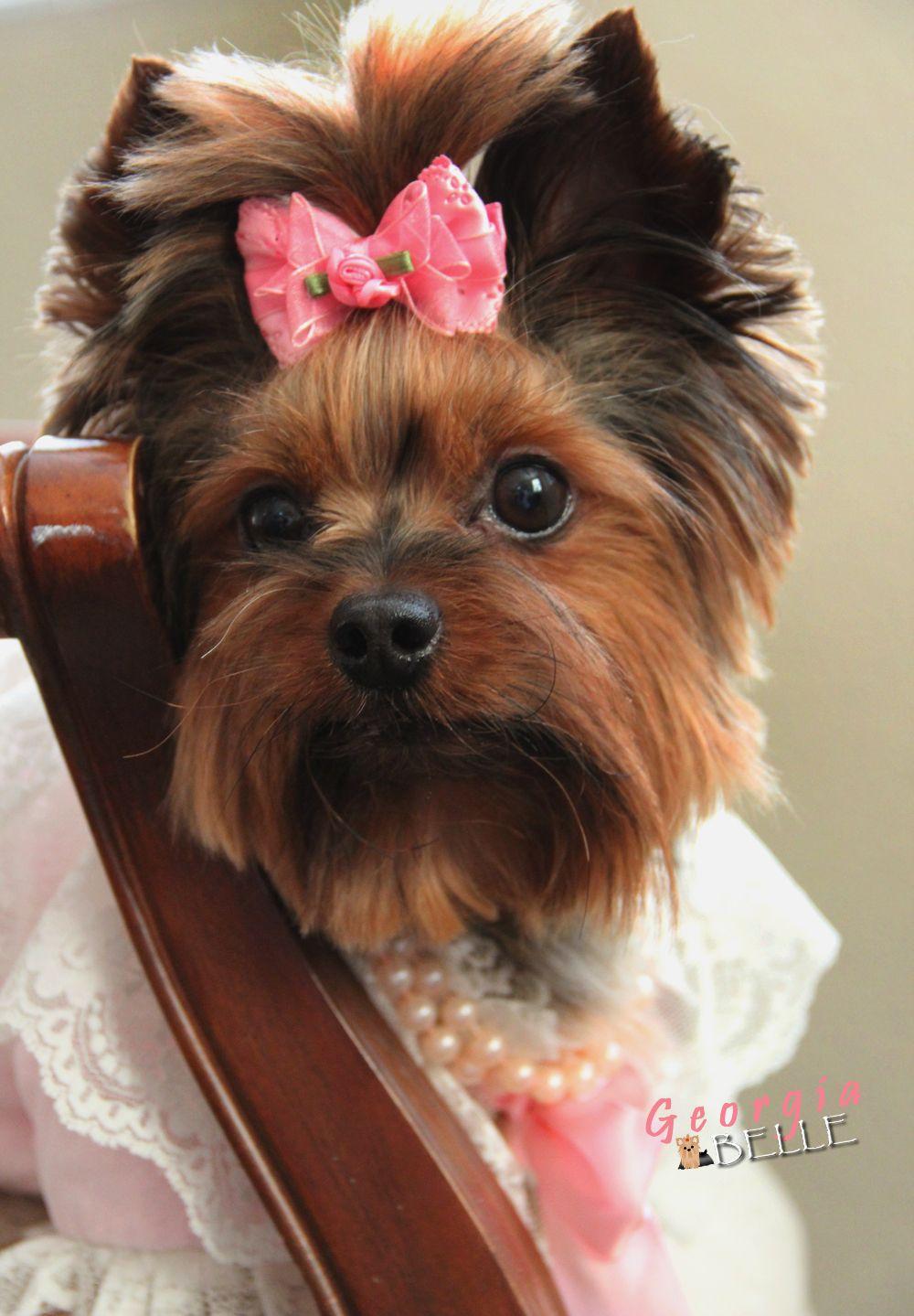 Georgia Yorkie Yorkie Puppy Yorkie Yorkshire Terrier Dog