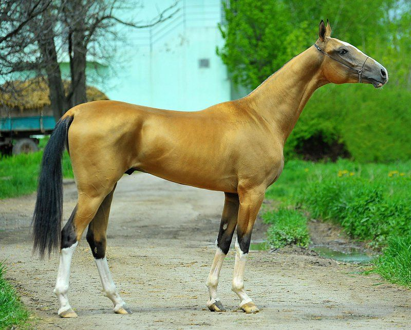 Ахалтекинцы | Stallions | Pinterest | Akhal teke, Horse and Dressage