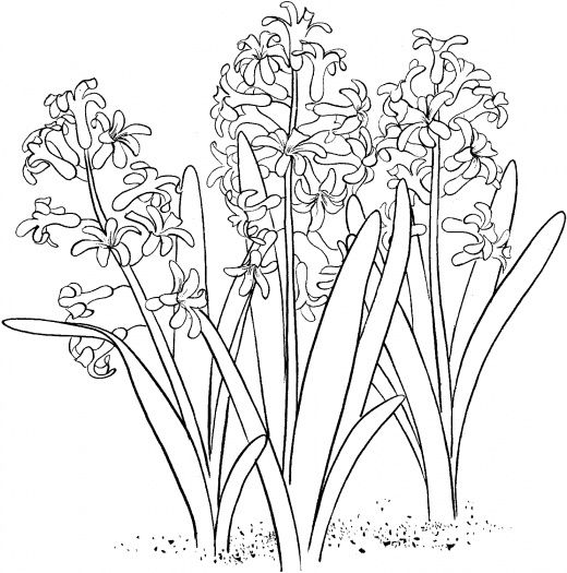 Hyacinth 1 Coloring Pages Flower Coloring Pages Free Coloring