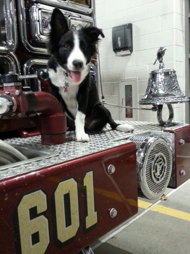 Fiona 17wk Border Collie Puppy Posing On Front Of Fire Engine
