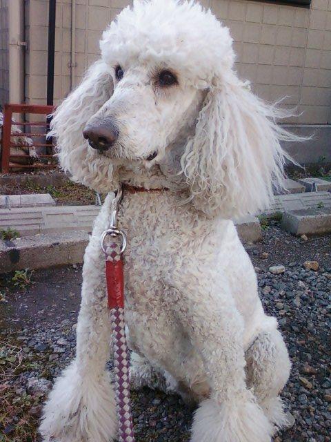 お名前 アイちゃん 名古屋市在住 スタンダードプードル メス 8歳 とにかく人になでてもらうのが大好きで人懐こいです 4歳ぐらいまでは犬同士ケンカみたいに遊ぶのが好きだったのに 食欲旺盛で いも なん スタンダードプードル プードル ペット