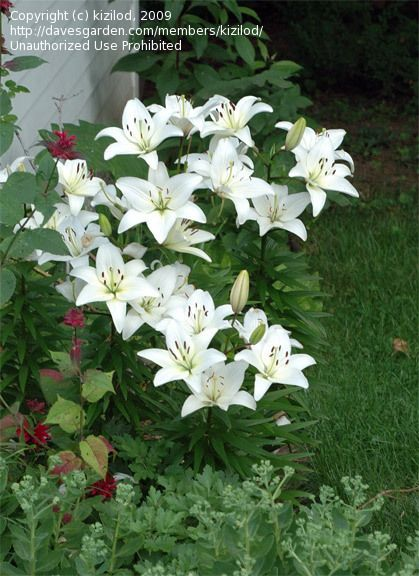 3517f0e9c6dd942e8d584f6ab1560acf - How To Get Rid Of Red Beetles On Tiger Lilies