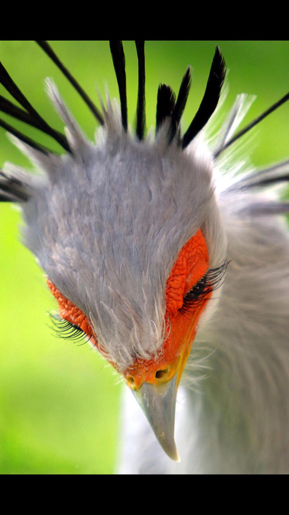 Обои eyes, gannet, wildlife. Макро