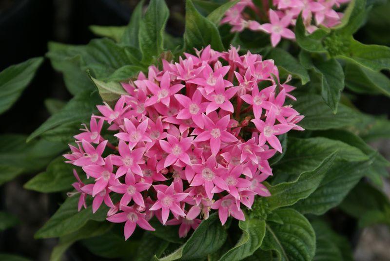 Pentis Annual Flowers Annual Flowers Flowers