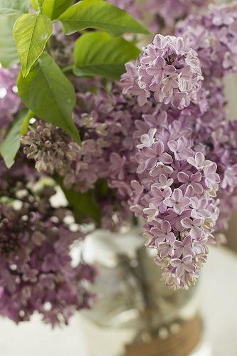Lilac Beautiful Flowers Flower Garden Lilac
