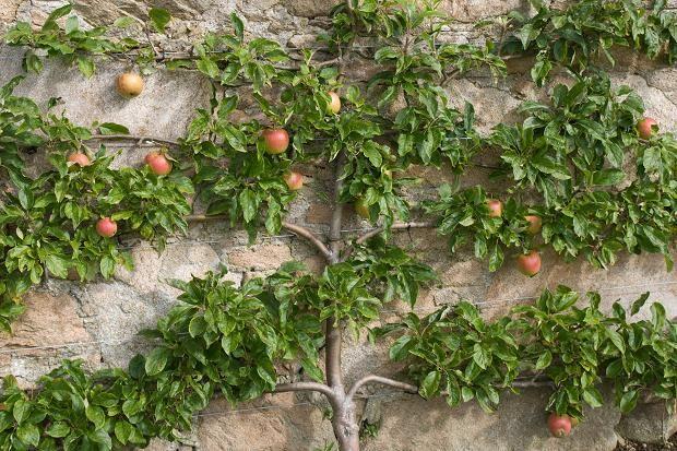 Fixing Plants To Walls Plants Espalier Fruit Trees 400 x 300