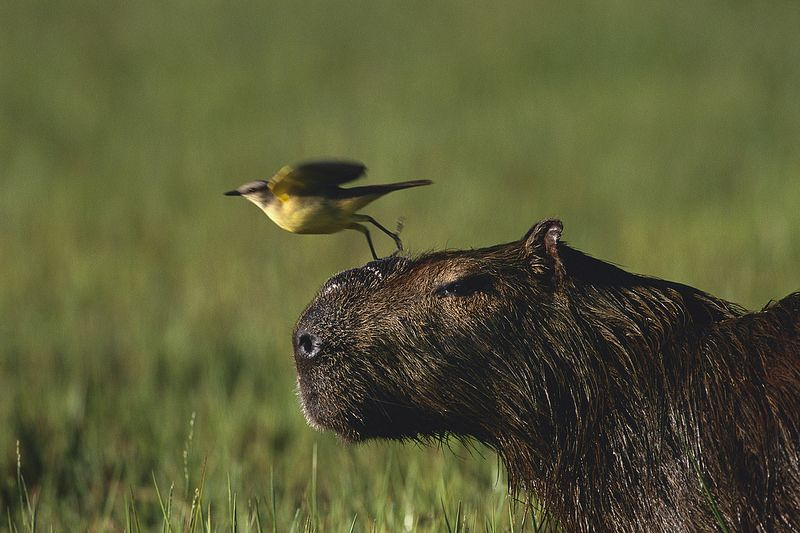 This Is The Pre Boarding Announcement For Flight 89cpybr Capybara Animals Image