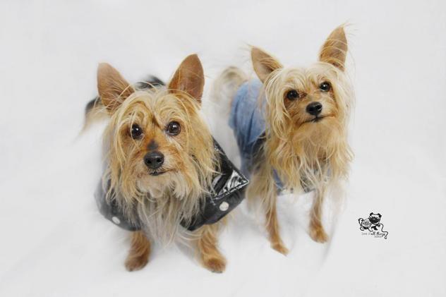 Adopt Tyson And Loki On Petfinder Yorkshire Terrier Dog Yorkie Adoption