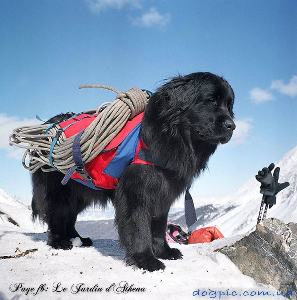 35 very beautiful newfoundland dog pictures - Business