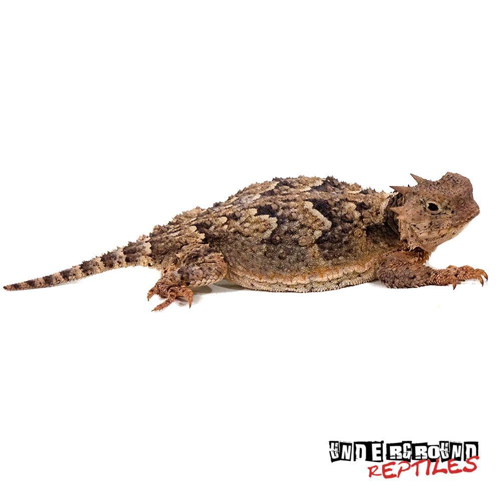 desert horned lizard | gifts | lizards for sale, underground