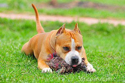 Purebred American Staffordshire Terrier Staffordshire Terrier Terrier Breeds American Staffordshire Terrier