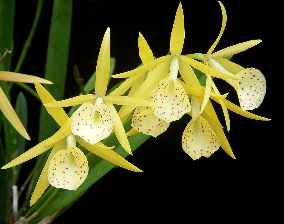 cattleytonia orchid   The following orchids were available for the November 9, 2013 Orchid ...