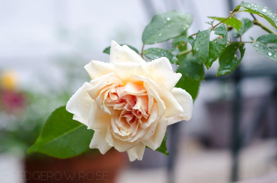 Rêve d'Or rose