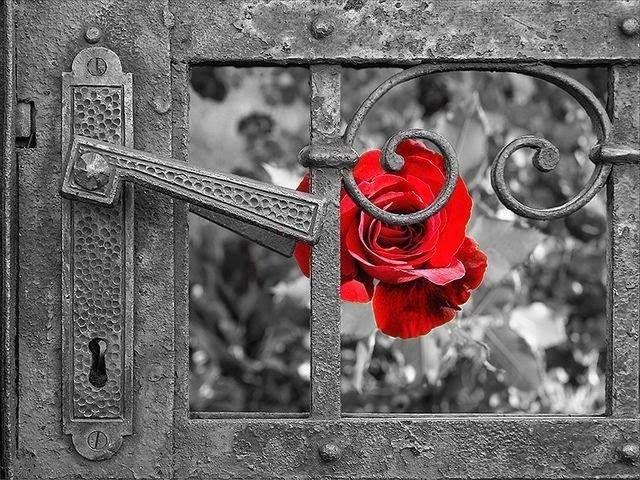 rose rouge et porte d'acier