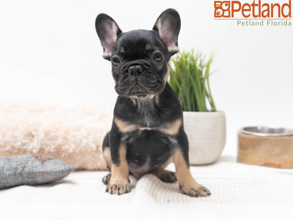 Puppies For Sale Puppy Friends French Bulldog Puppies Puppies
