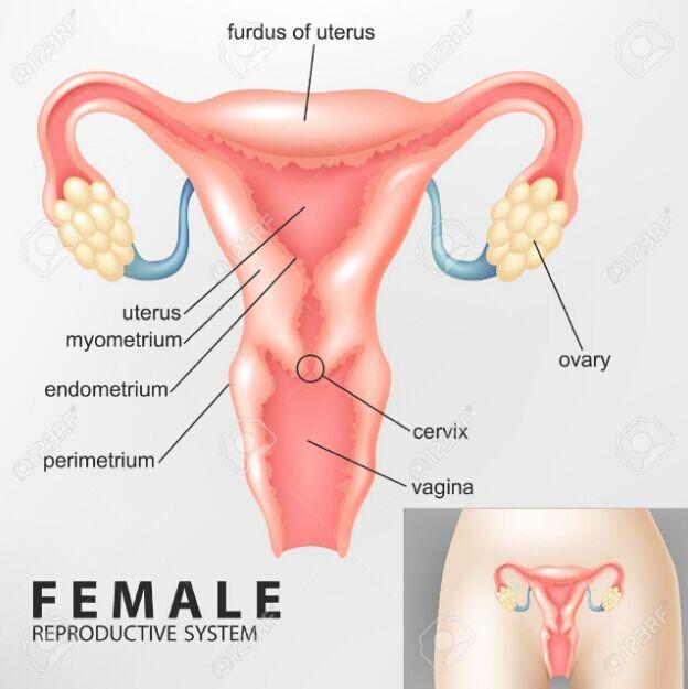 Female Reproductive Diagram Anterior View Anatomynote
