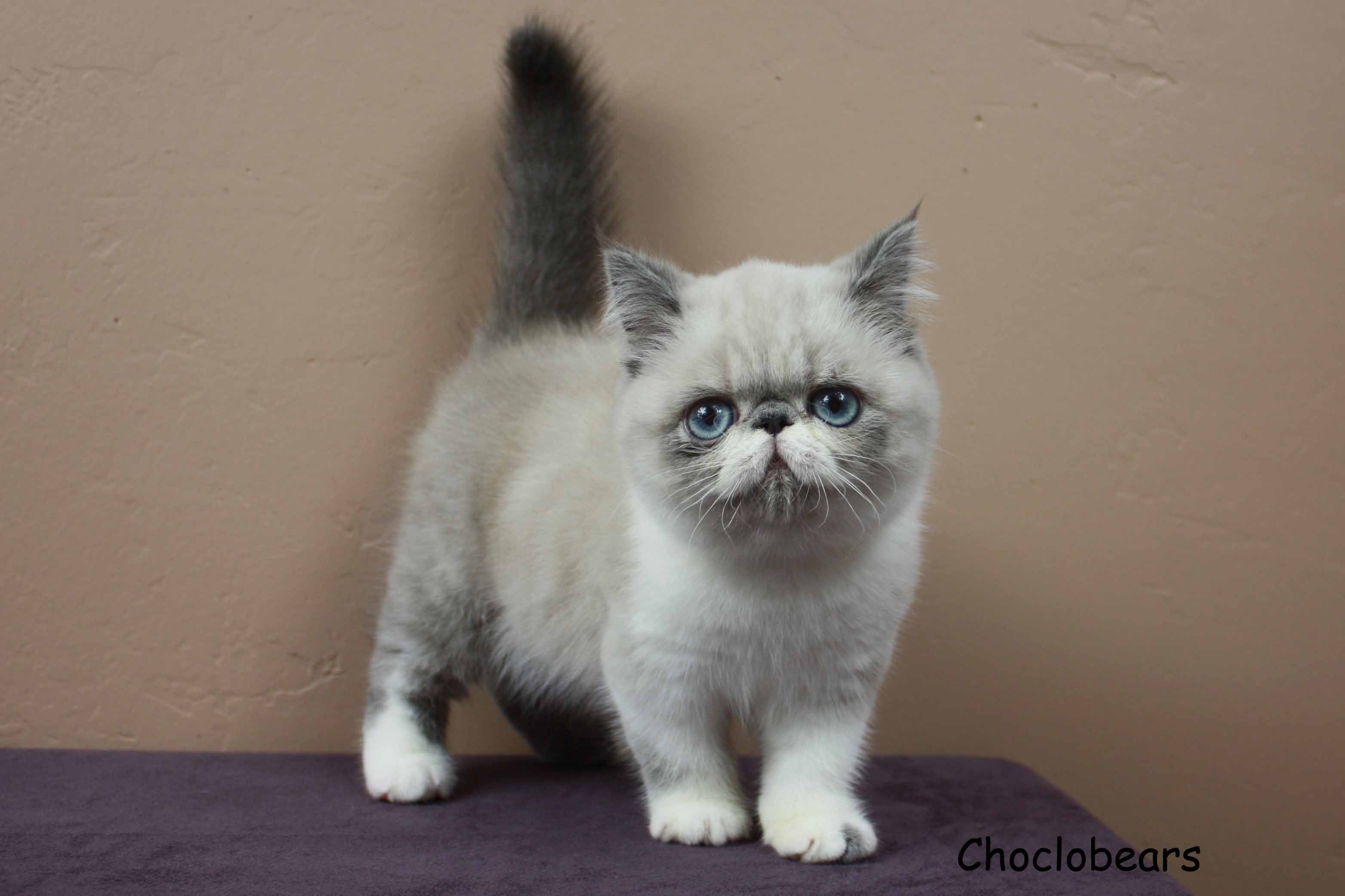 Choclobears Cattery Blue Point and White Exotic Shorthair Kitten ...