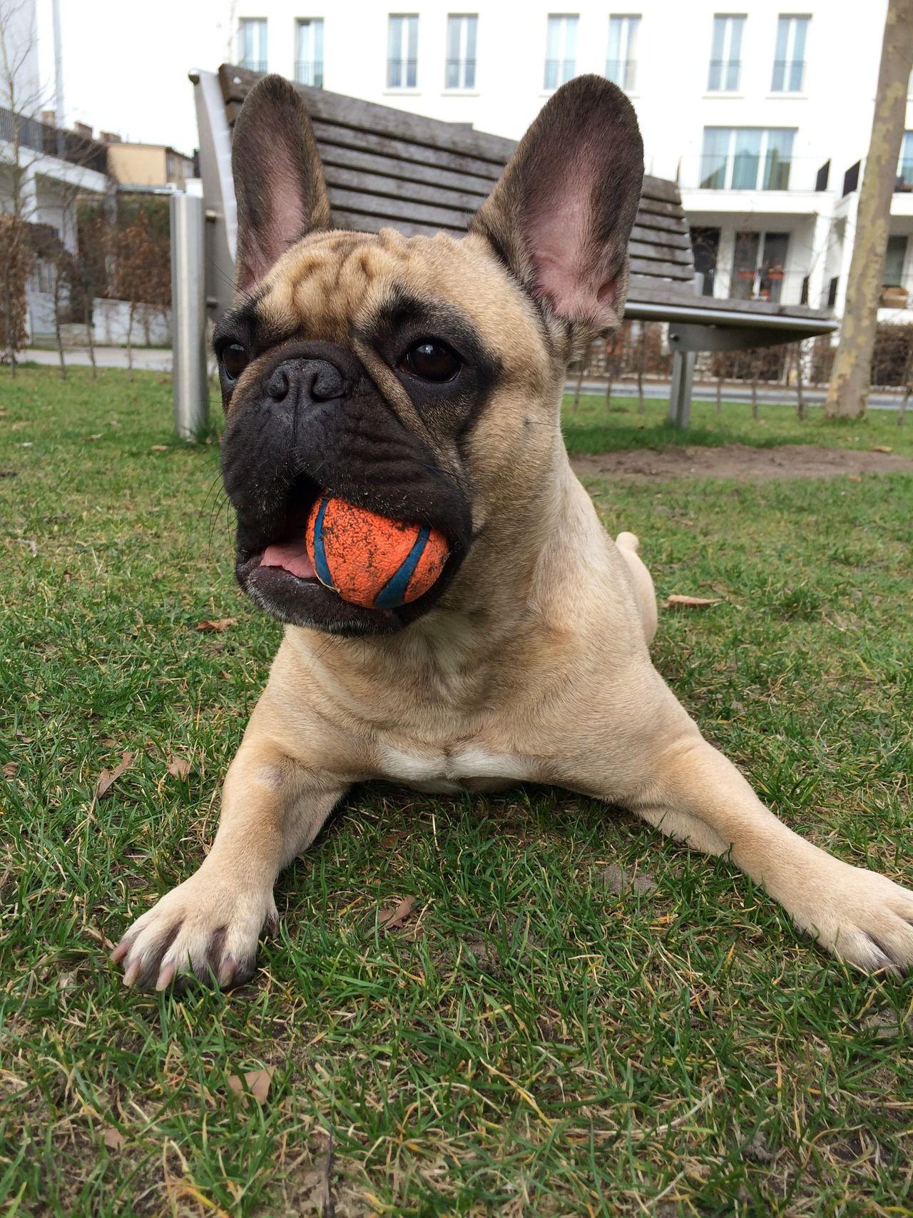 1 Tumblr Playtime Franzosische Bulldogge Hunde Welpen Hunde