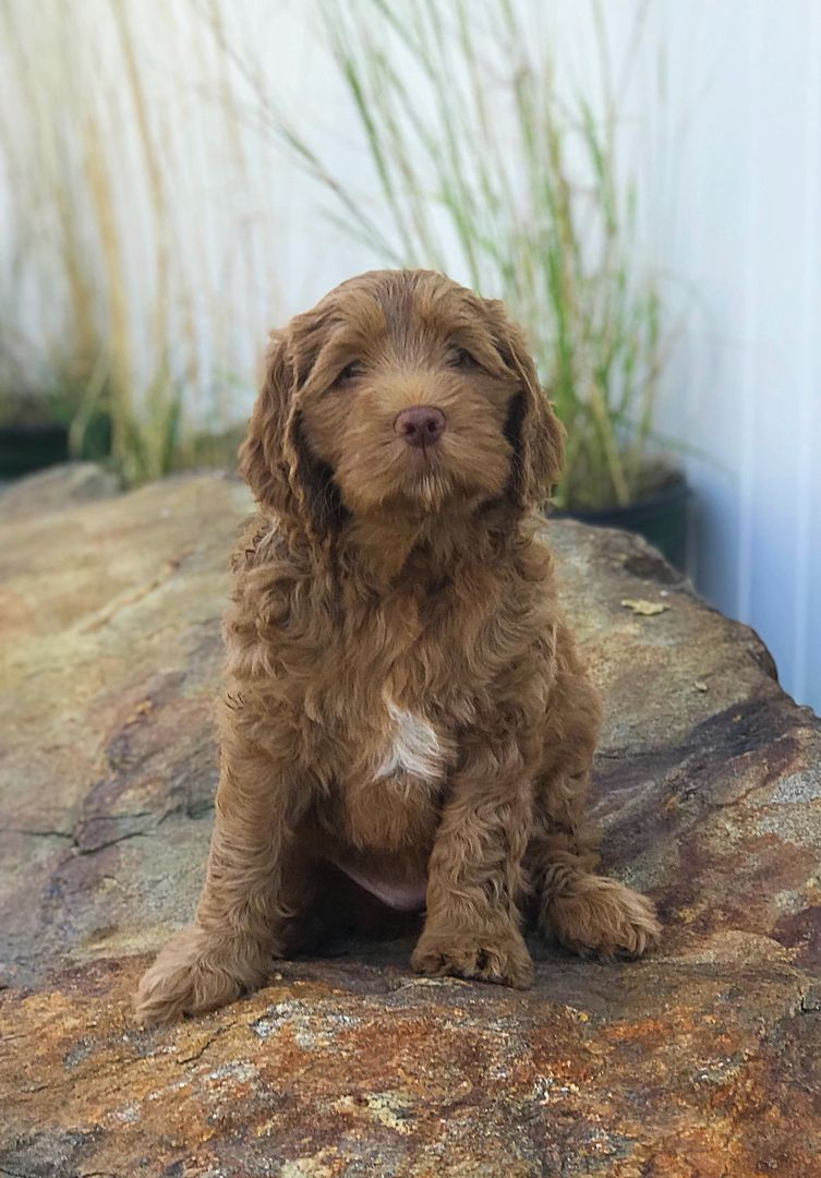 Brickhaven labradoodles labradoodle puppies washington