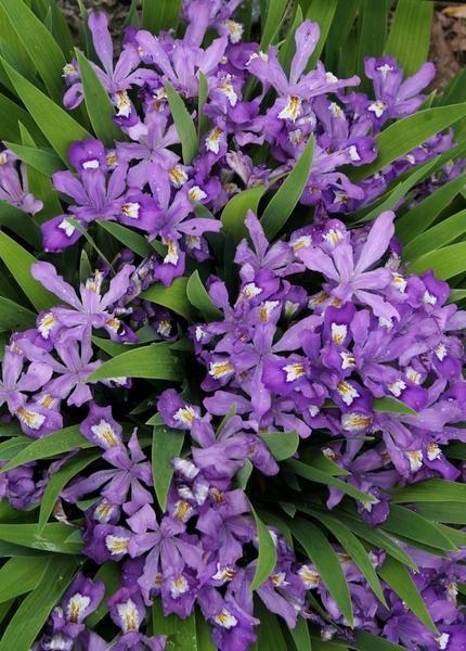 Iris Cristata Merles Ruby In 2020 Plants Shade Plants Dry Shade Plants