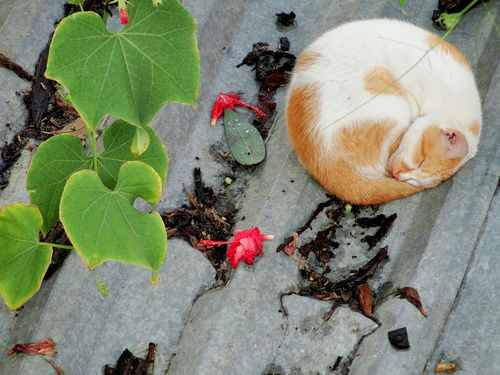 Gato (Felis silvestris catus) (by Ronie Peterson)
