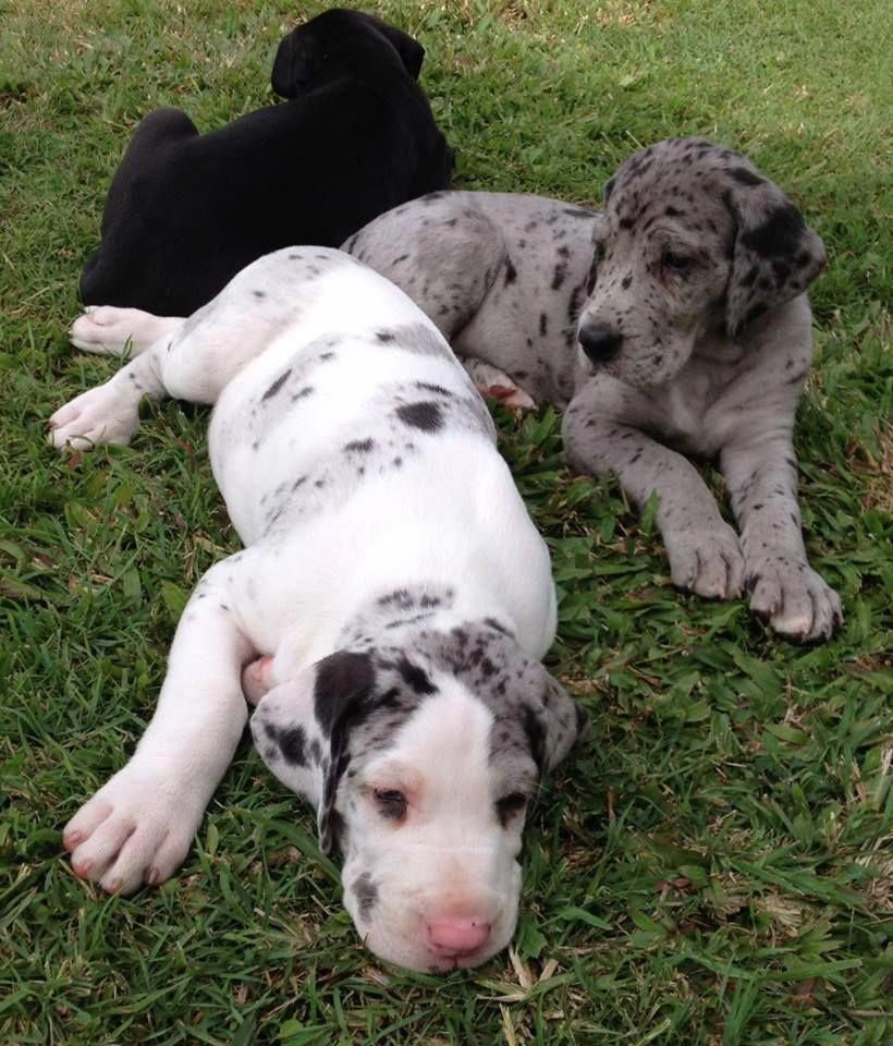 More About The Great Dane Puppies Greatdaneboudoir Greatdanes