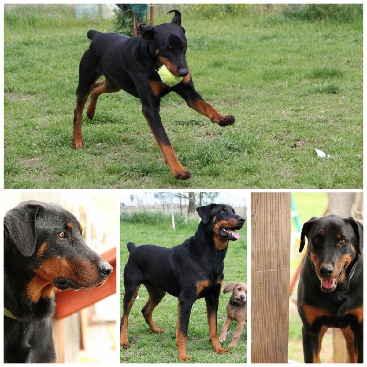 Rotterman A Rottweiler Doberman Mix Best Dog Ever My