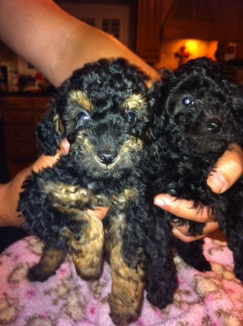 Toy Poodle Puppies Is An Adoptable Poodle Dog In Rowlett Tx We
