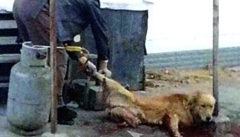 China: Fully Conscious Pet Dog Has All Four Legs Severed ...