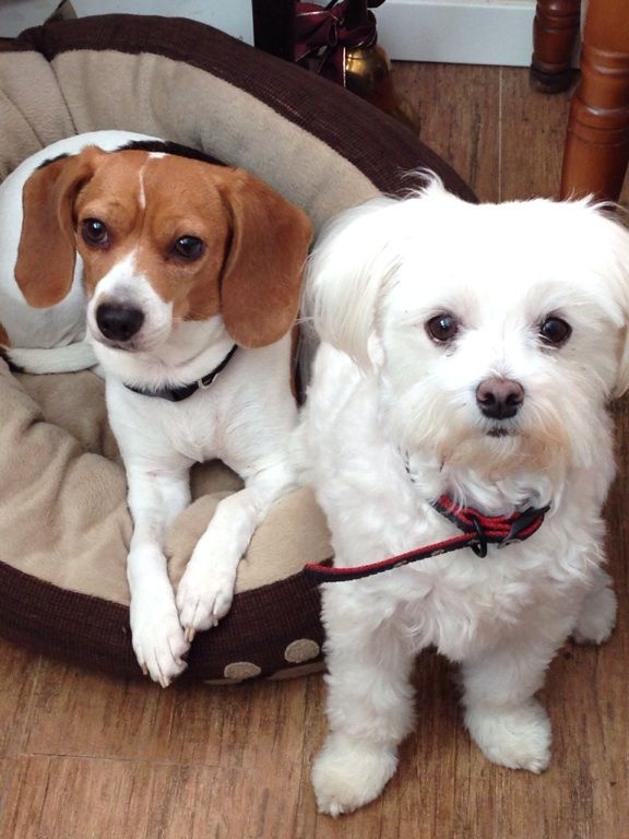 Annie And Abby Beagle And Maltese Sisters And Best Friends