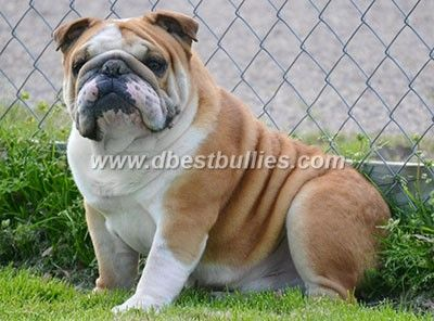 The Adult Male Dogs English Bulldog Breeder English Bulldog