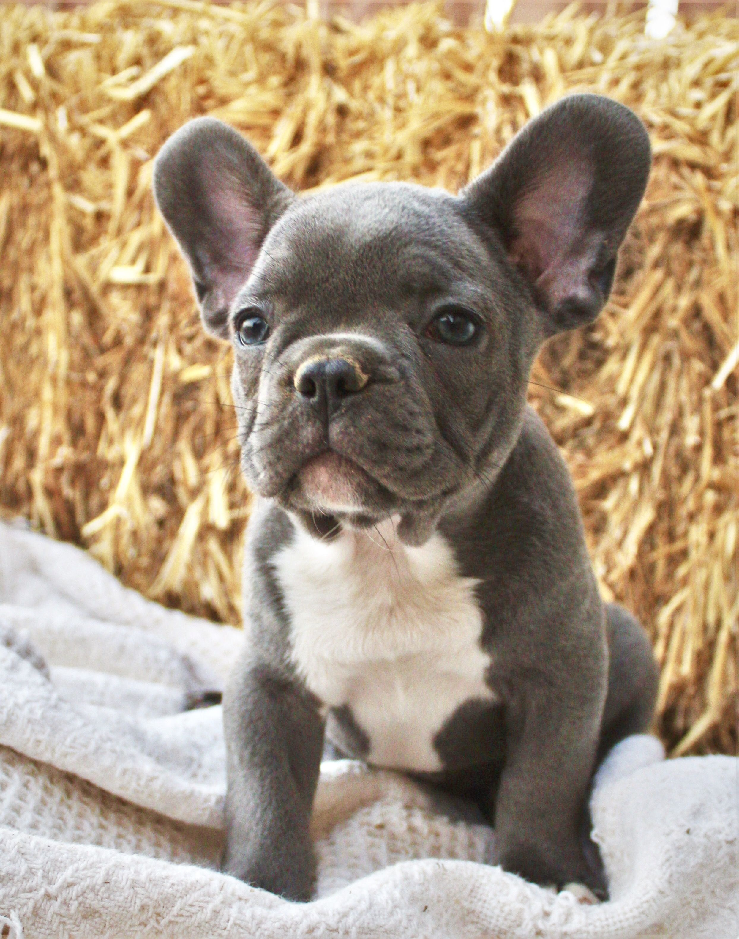 Cute French Bulldog Puppies With Blue Collars French Bulldog
