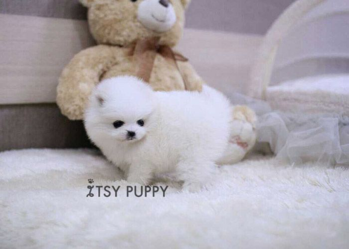 Daisy Micro Female Pom Itsy Puppy Teacup Puppies For Sale In