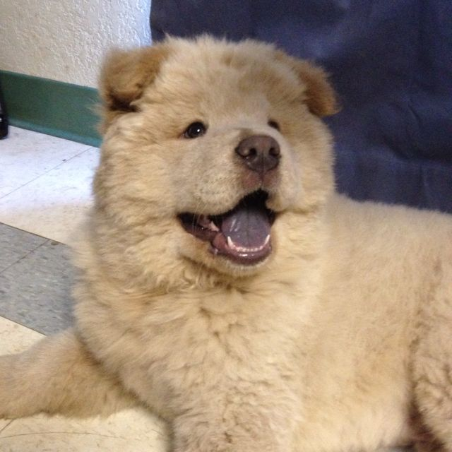 White chow chow puppy marshmallow