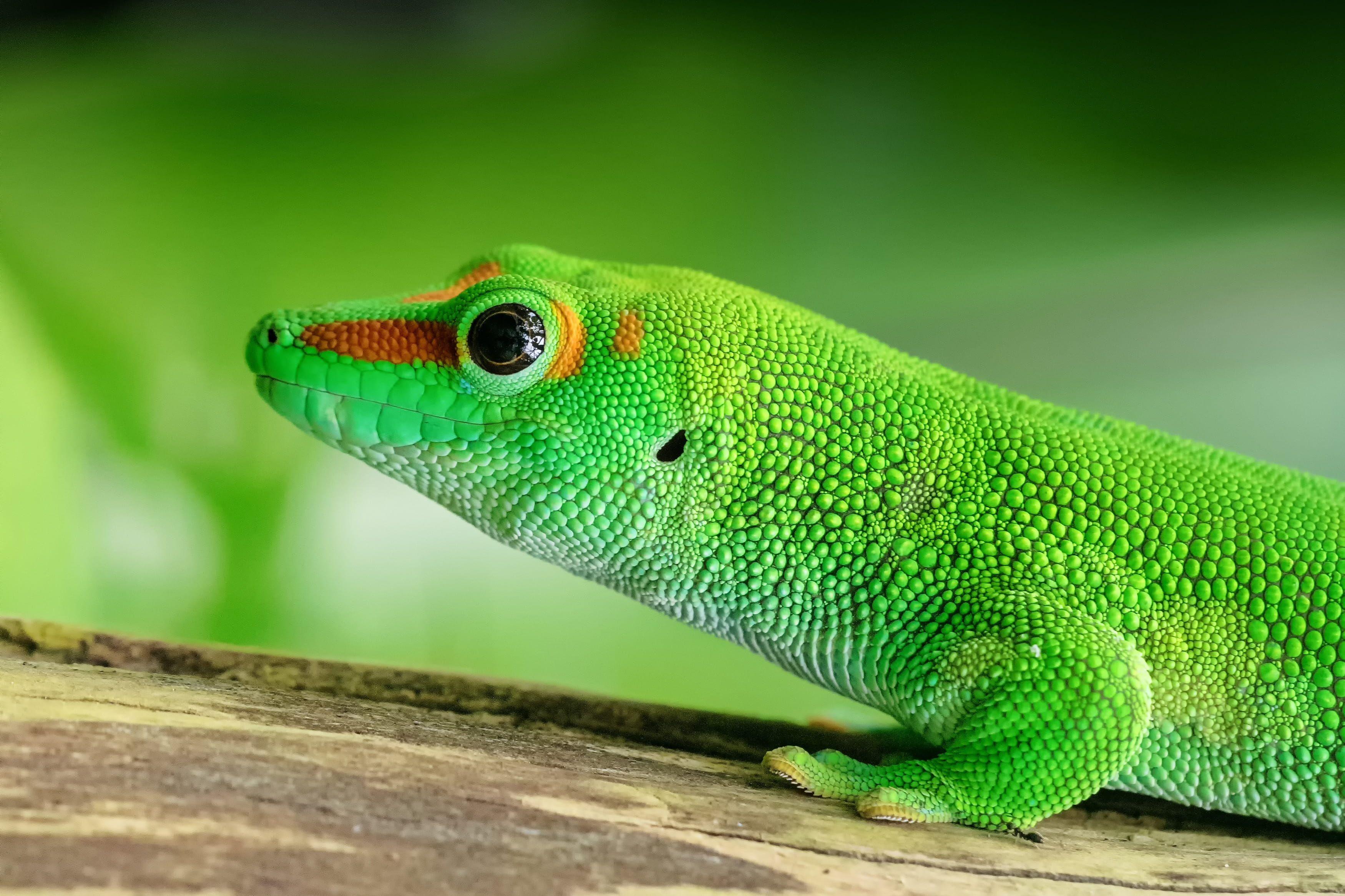 Gecko Lizard Animals Green Color Animal Themes Animal One Animal Vertebrate Animal Wildlife Reptile Animals In The Wild Close U Gecko Lizard Spirit Animal