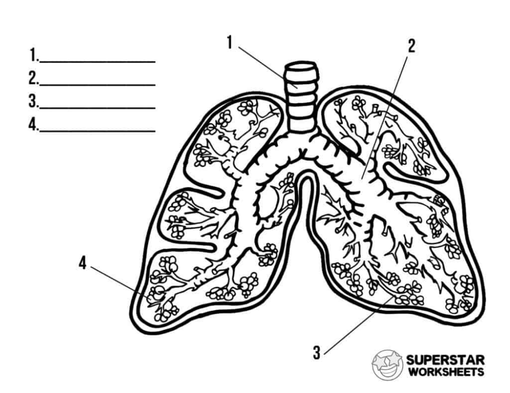 These Fee Printable Human Lung Worksheets Include Coloring Pages Label Worksheets Notebooking Pages Human Lungs Teaching Printables Free Science Worksheets