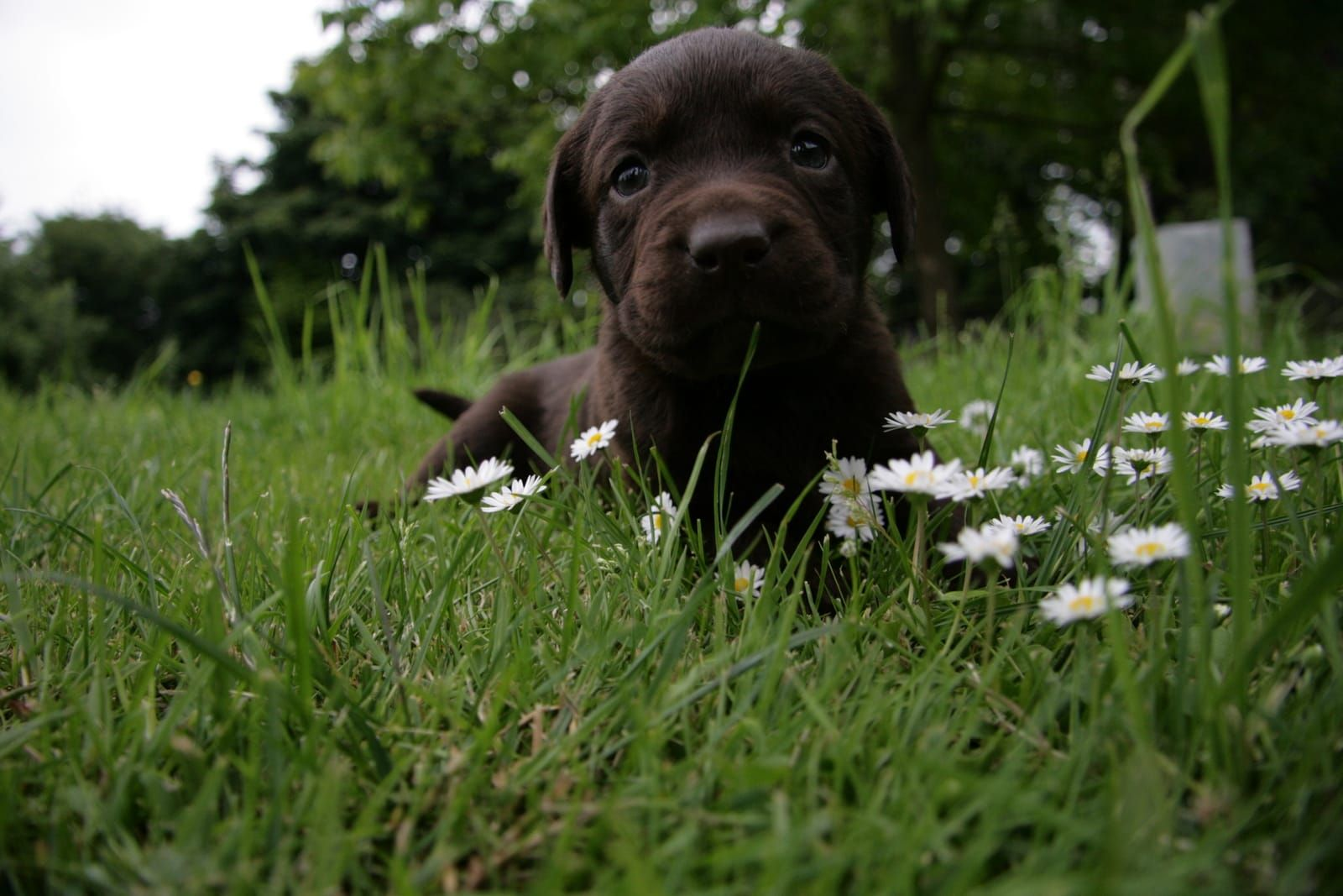 Treuer Begleiter Furs Leben Braune Labrador Retriever Welpen