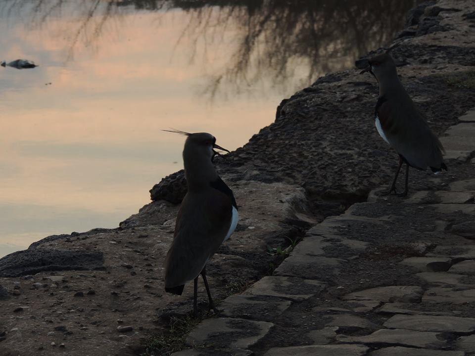 quero-quero no rio Uruguai by A.Felício